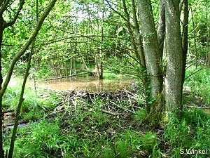 Wald im Spessart mit Biber-Anstau (Foto: Sibylle Winkel)