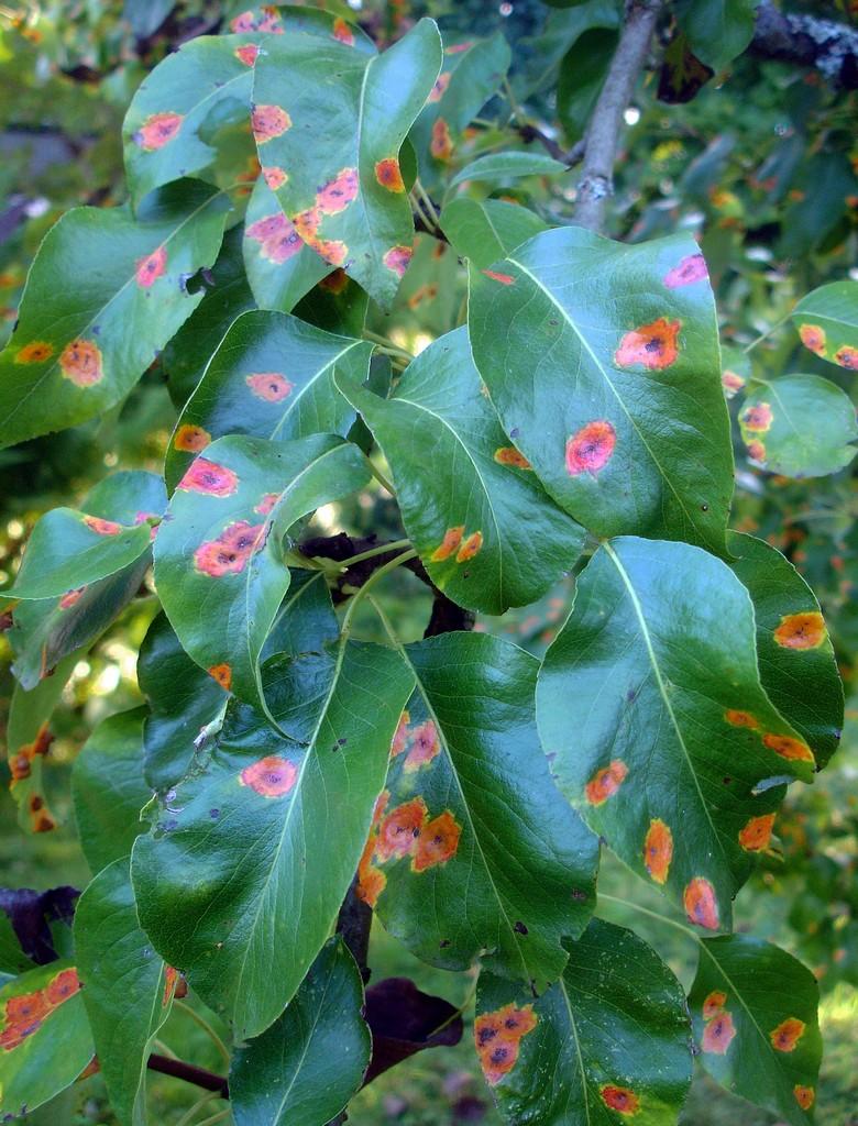 Birnbaumblätter mit den typischen orangefarbenen Flecken (Foto: Sibylle Winkel)