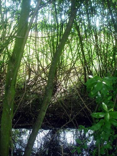 Noch ist der Amphibiengraben am Ruhlsee von Weidendickicht umgeben (Foto: Sibylle Winkel).