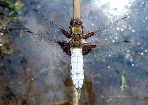 Libellen wie der Plattbauch sollen künftig im Grabenbiotop wieder einen guten Lebensraum vorfinden (Foto: Sibylle Winkel).